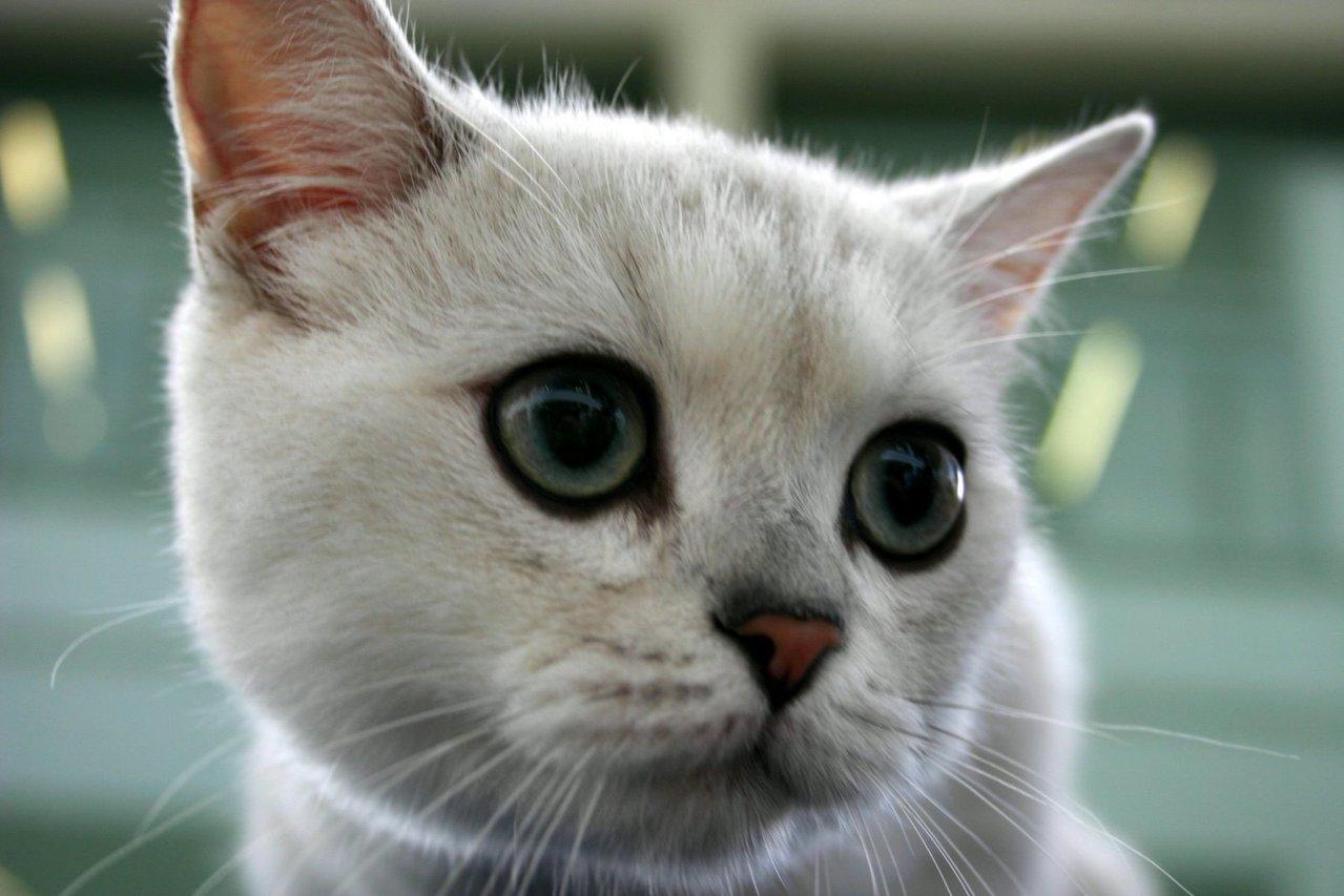 Biały kot bengalski – jak go hodować?